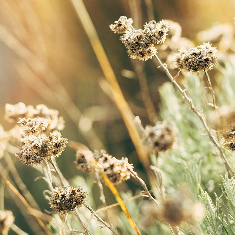close up dried flowers