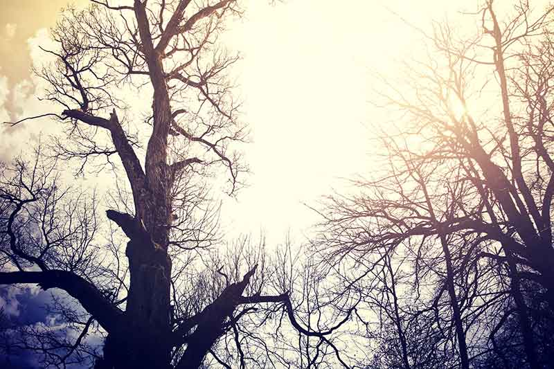 old dead trees sky
